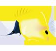 Pesce tropicale forcipiger flavissimus ##STADE## - colore 14