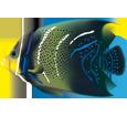Pesce tropicale pomacanthus semicirculatus ##STADE## - colore 72