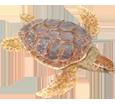 Tartaruga marina caretta ##STADE## - colore 26