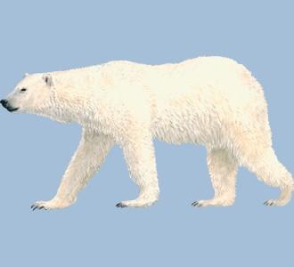 Accogli un animale marino di specie orso bianco