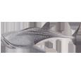Squalo balena ##STADE## - colore 71