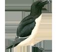 Pinguino alca torda ##STADE## - colore 65